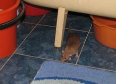крыса в ванной