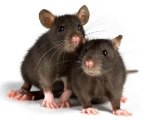 две крысы в доме