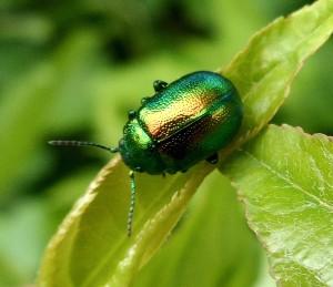 зеленый жук в природе
