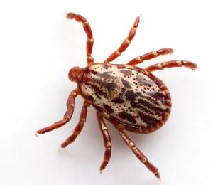 паукообразное животное клещ
