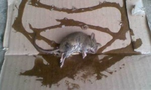 крыса попалась на клей