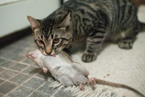 кошка поймала крысу