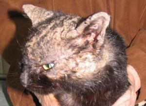 признаки демодекоза у котов