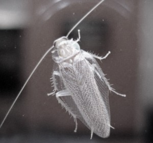 белый таракан на стекле