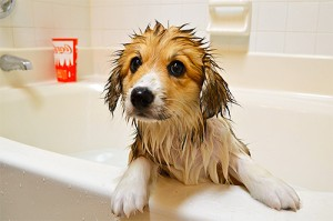 собака помытая шампунем от вшей