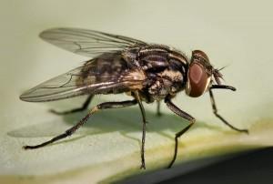 муха жигалка осенняя